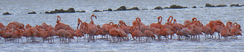 American Flamingo flock - Saliña Sint Michiel, Curaçao