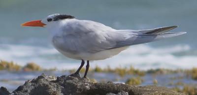 Royal tern - south coast, Bonaire