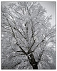 Tree in Snow 2017 #1