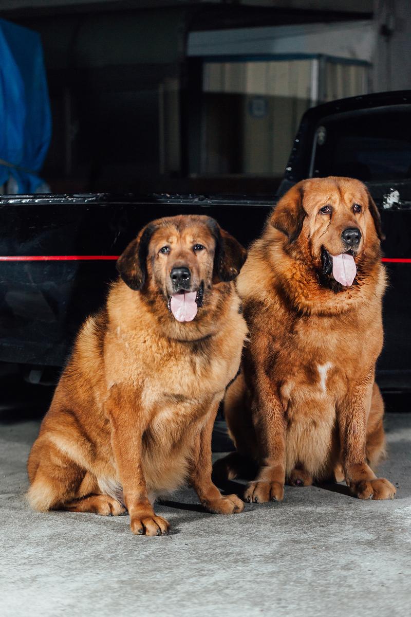 《寵物攝影》獒犬兄妹拍寫真 / 獒犬高加索大白熊犬可參考