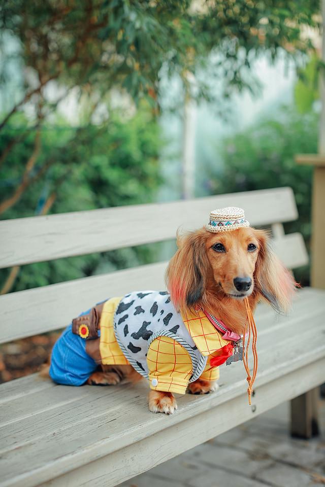 《寵物寫真》胡迪警長來了喔 / 台中臘腸犬