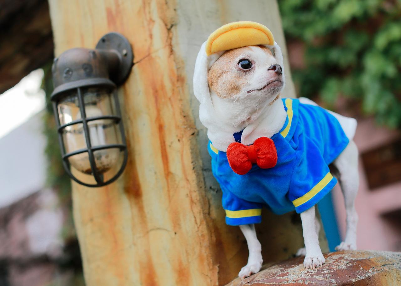《寵物攝影》網美帥哥型男 / 台中吉娃娃