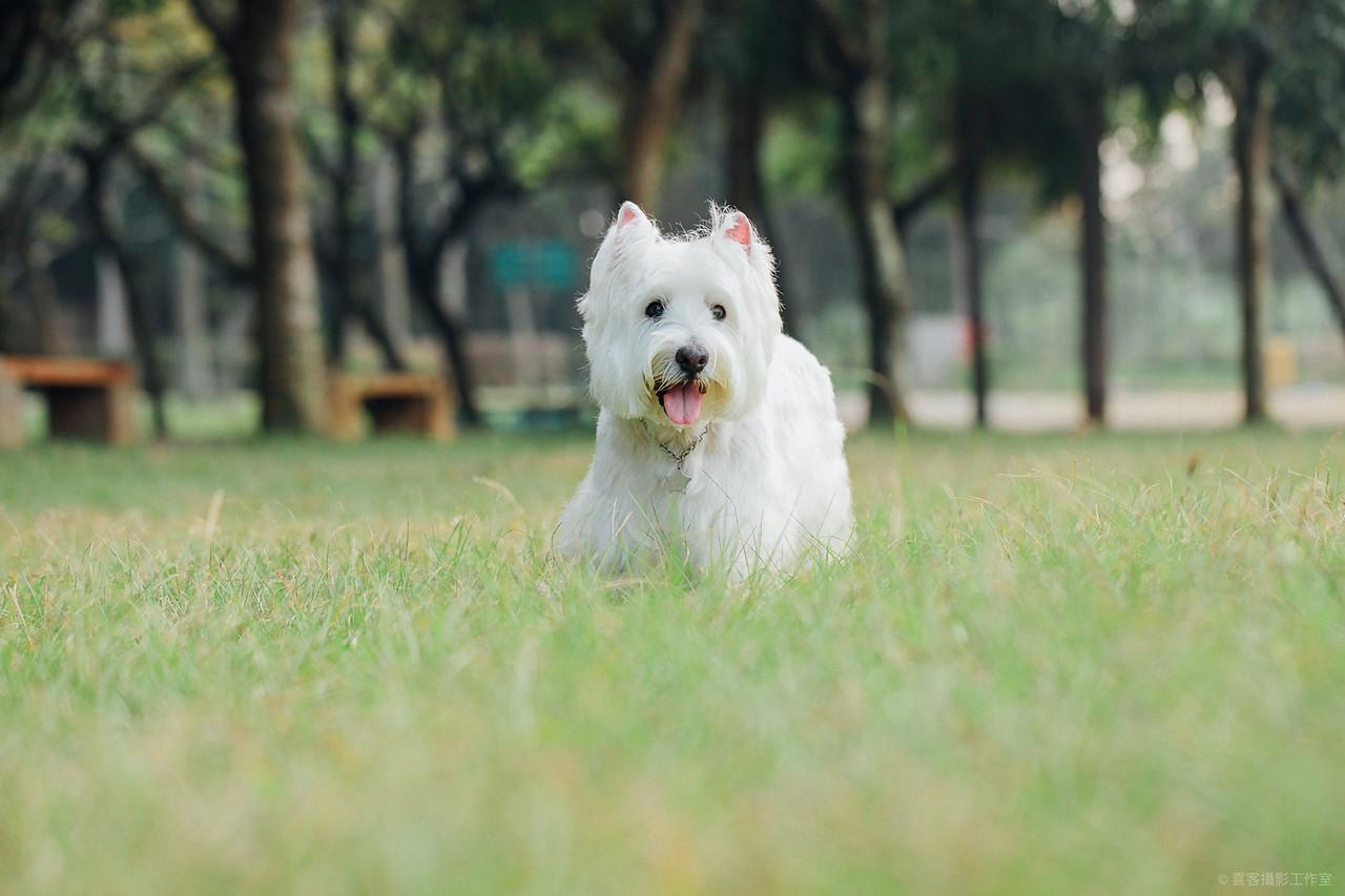 《寵物寫真》拍過電視廣告的狗明星dono / 西高地白㹴西莎