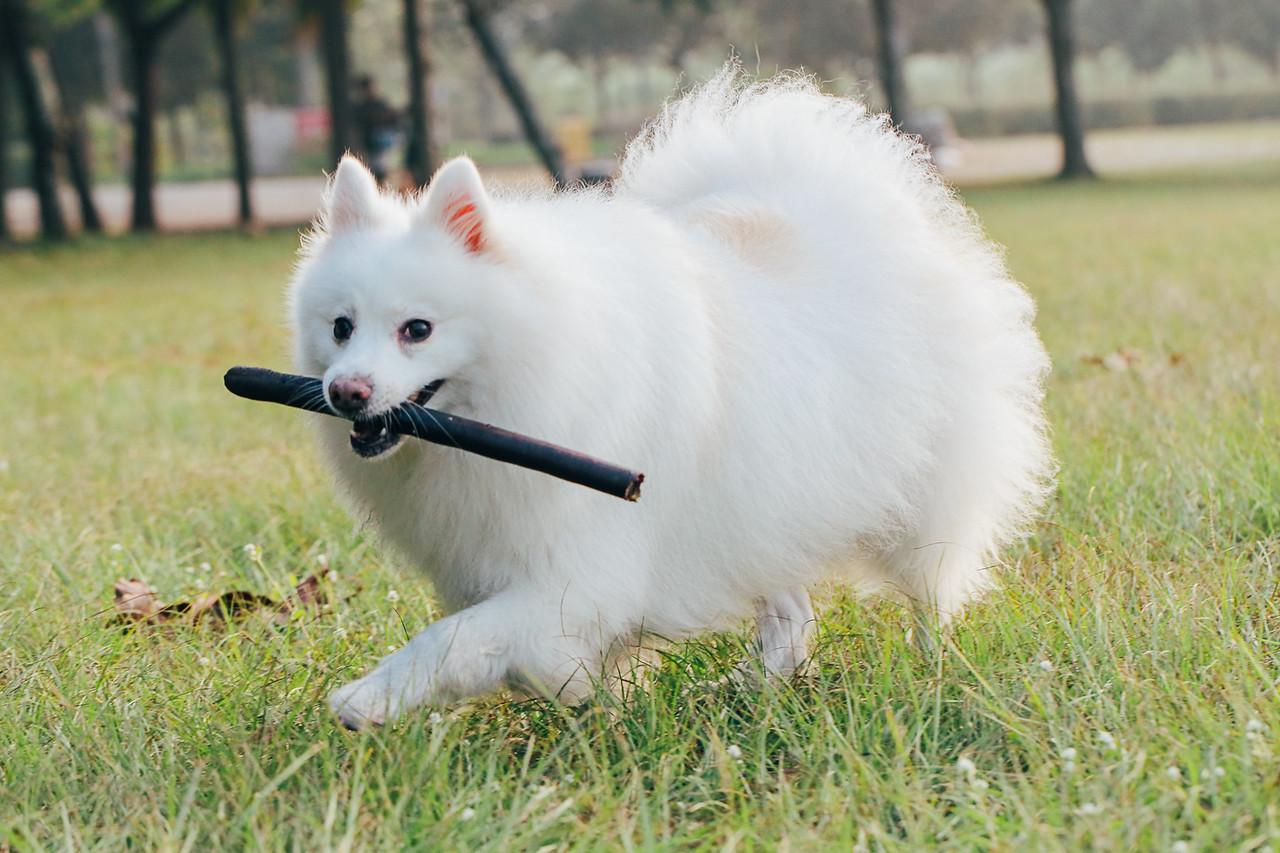 《寵物攝影》不管做什麼都要很酷的狐狸犬酷哥 / 狐狸犬銀狐犬