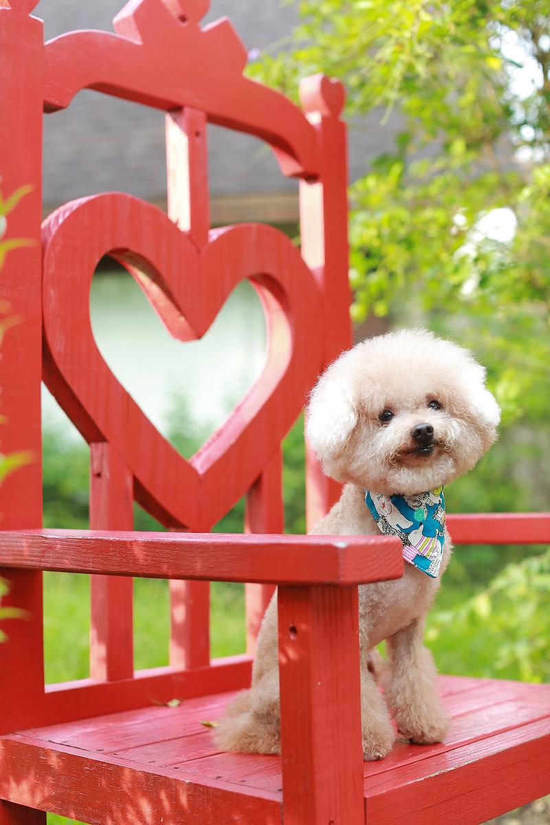 《寵物寫真》家中的一份子 / 台中紅貴賓犬(比熊犬馬爾濟斯可參考)