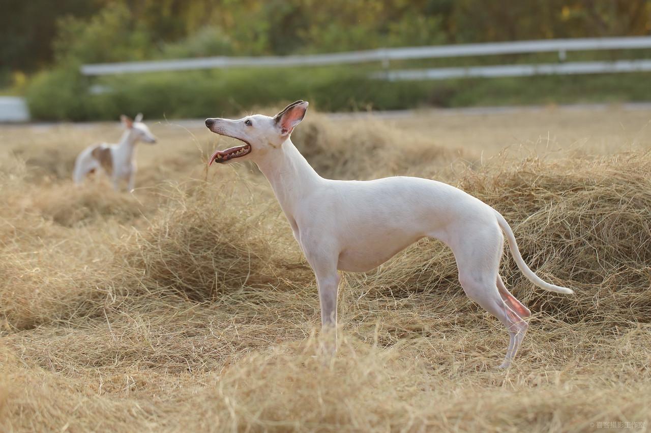 《寵物寫真》Milk妹和DODO媽母女寫真 / 惠比特犬家族