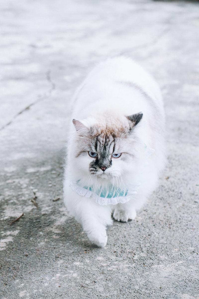 《寵物攝影》毛茸茸的可愛布偶貓 / 布偶貓緬因貓