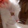 THE ANKARA CAT - PROFILE