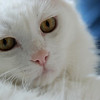THE ANKARA CAT