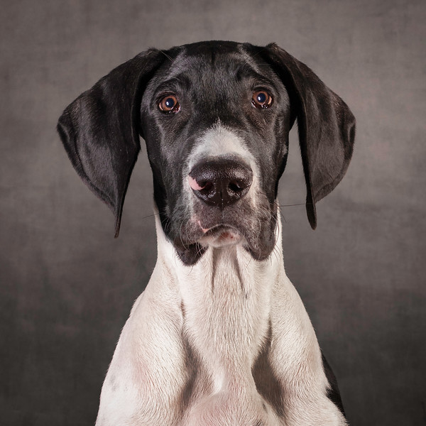 Jude, Great Dane