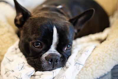 Finnegan Resting in Bed