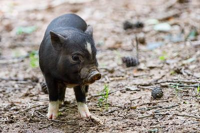 Pot Belly Piglet Rutting