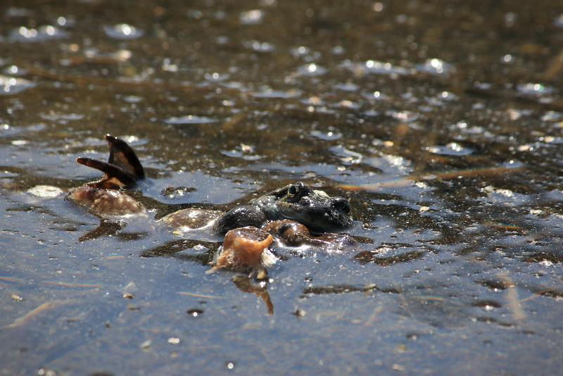 Les z'amours chez les grenouilles rousses
