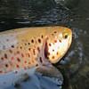 3ème poisson d'un trio de 40 prise sur une soirée.<br /> Une des rivières polluées aux PCB du département, les pêcheurs désertent... Paradoxalement y'a du poisson, la pollution a du bon, non ? Surprenant comme remarque !