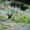 A l'écoute des grands cerfs de la forêt