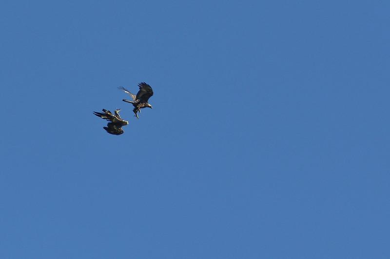 Parade nuptiale.<br /> Clairement pas la plus belle photo que l'on puisse faire de cet oiseau, mais j'ai eu la chance d'observer cette scène s'apparentant à une parade nuptiale. Instant assez magique. Ce n'était surement qu'une simulation, la scène s'étant déroulée au mois d'août.
