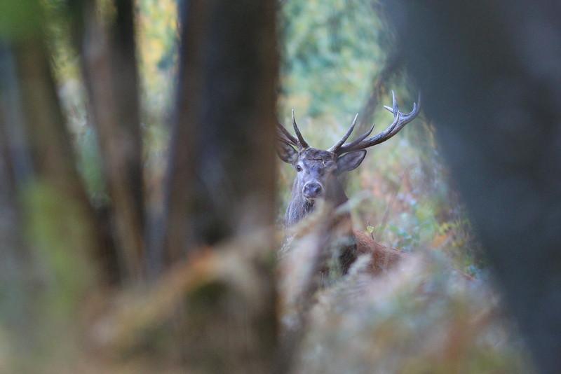 Sortie sans ambition photo, juste pour écouter le brame, et nos regards se croisent entre les arbres. Entre fascination et peur, impressionnant ces grosses bêtes...