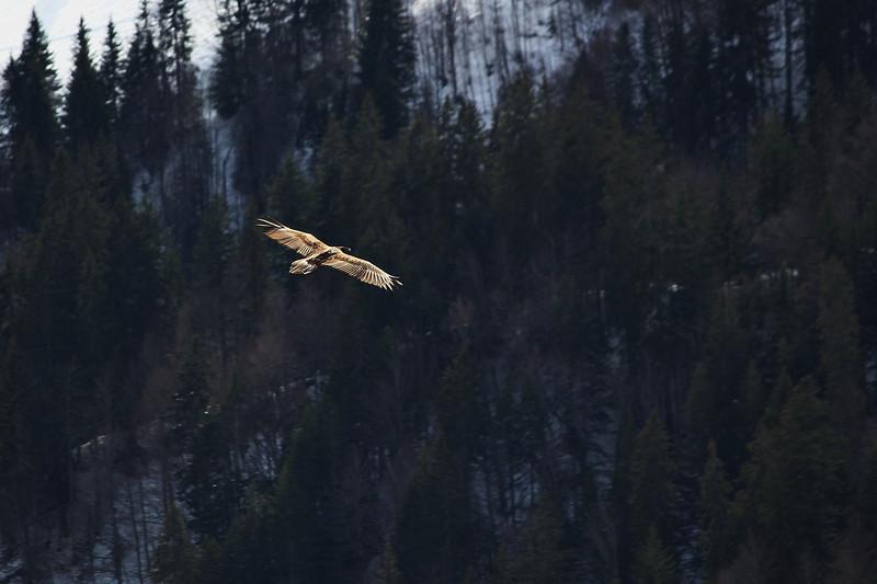 2nde rencontre de la journée, l'oiseau traverse la vallée par un long vol plané.