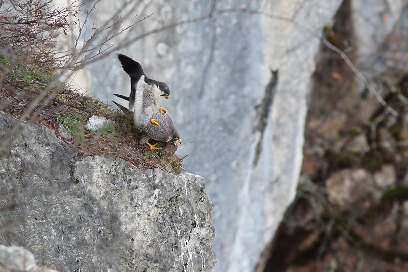 Accouplement de faucons pèlerins