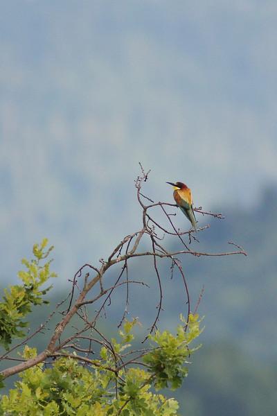 Guêpier d'europe, oiseau magnifique en limite d'aire de répartition en Savoie.