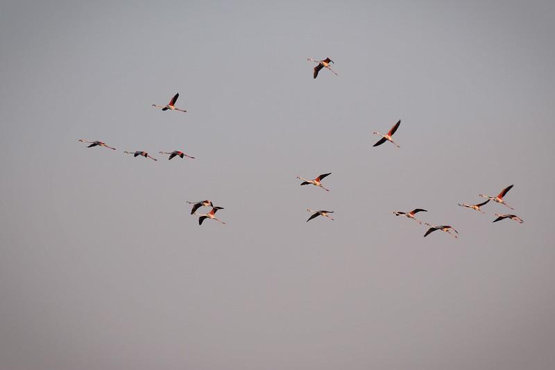 Vol de Flamants roses en Camargue