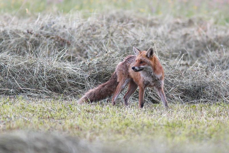 """Le tracteur """"botelle"""" à quelques dizaines de mètres de là, et le renard ne semble pas perturbé !"""
