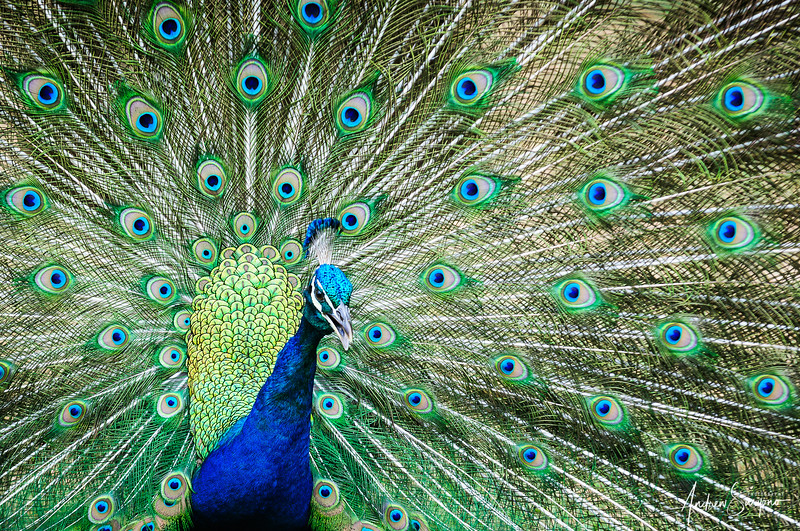 The Peacock Dance