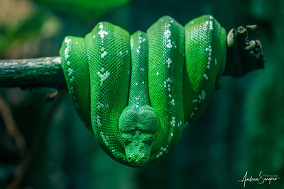 Sleeping Green Phyton