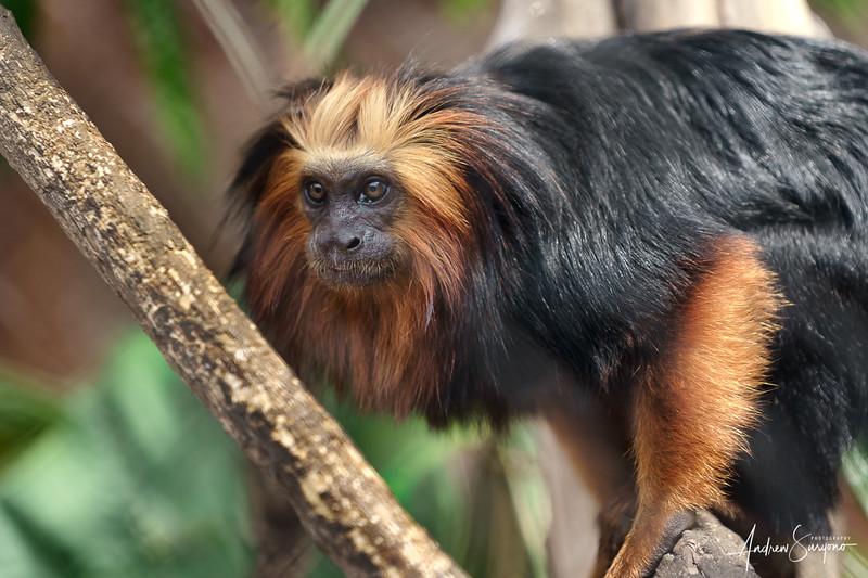 Golden Lion Tamarin Monkey Prepares to Jump