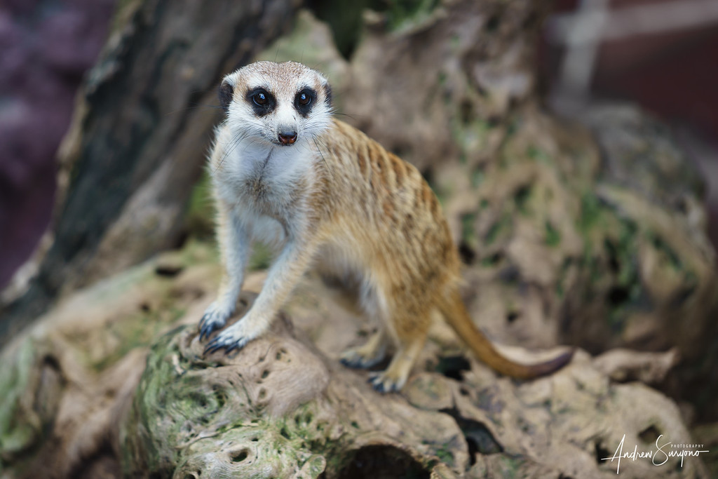 Mesmerized Meerkat