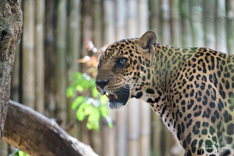 A Leopard's Killer Glance