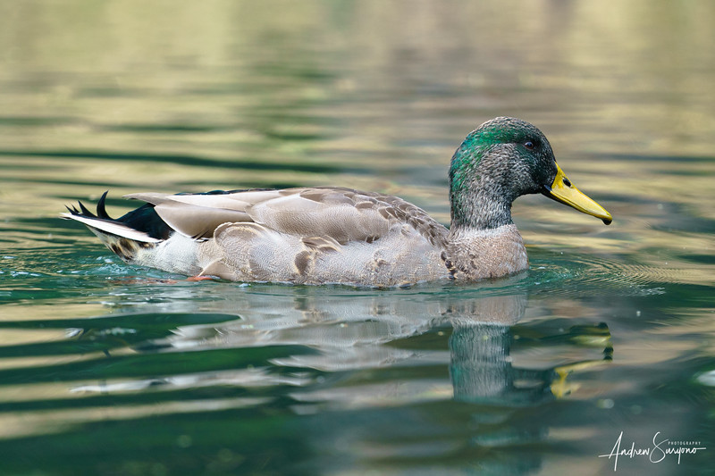 A Duck's Morning Bath