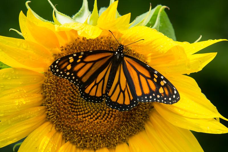 DWP Monarch 4