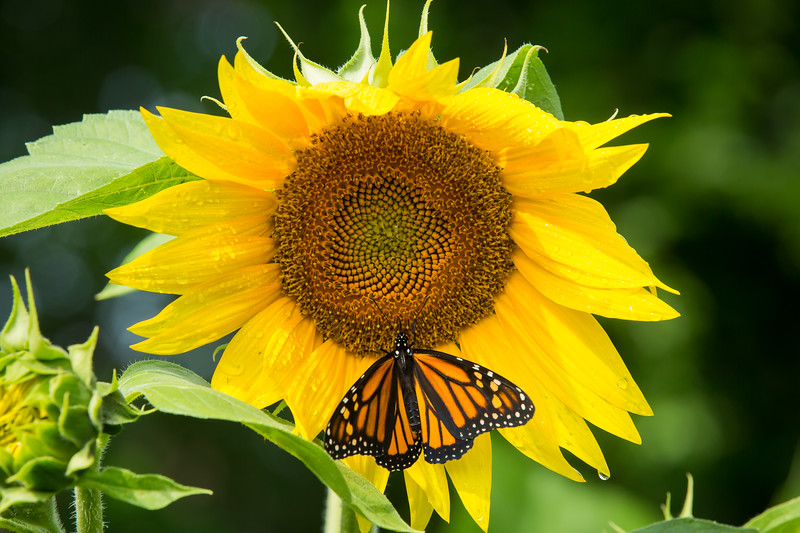 DWP Monarch 3