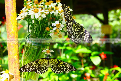Simply Butterflies CC, Bilar, Bohol, Philippines