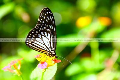 Simply Butterflies CC, Bilar, Bohol, Philippines [EXPLORE Mar 1 2012]