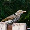 REGENT BOWERBIRD (Female)