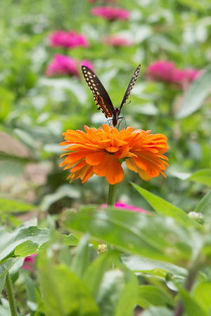 694A2428 butterfly