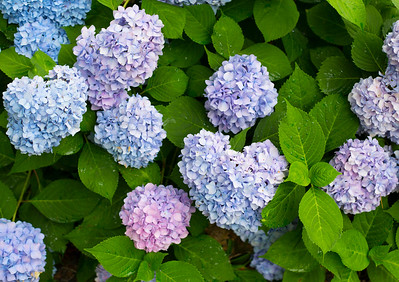 694A3301 blue flowers 20X30