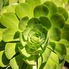 green sucluent_94A5165