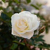 _94A5524 white rose