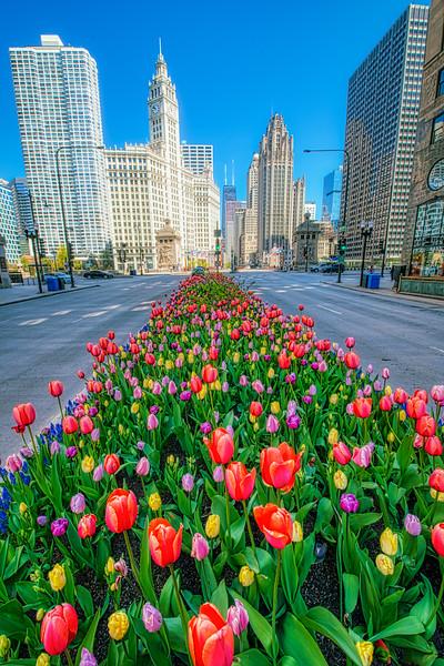 Tulips Down the Avenue - V2 - John O'Neill Photography