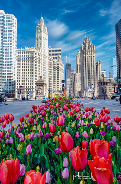 Tulips Down the Avenue - V - WM - John O'Neill Photography