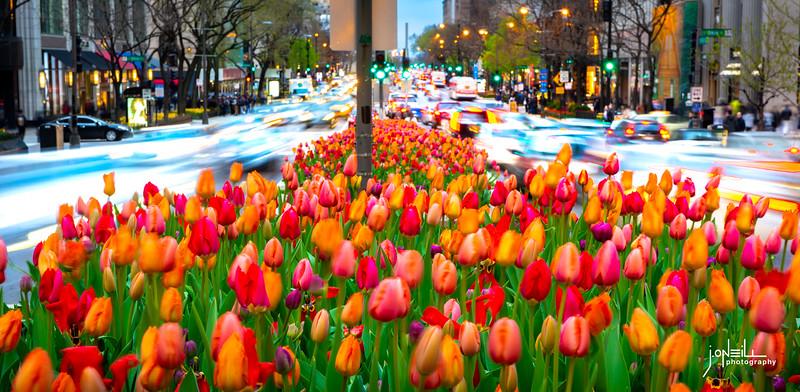 Tulips Between the Traffic Rapids - John O'Neill WM