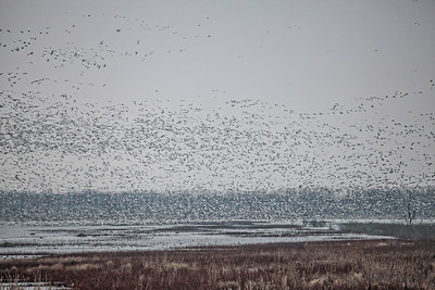Thousands of Snow Geese