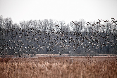Snow Geese Sandhill Cranes