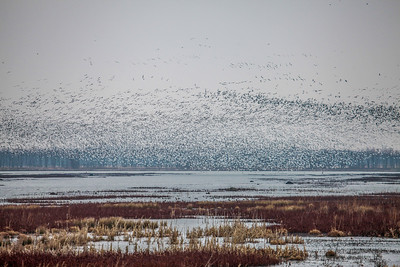 Thousands of Snow Geese Swarming