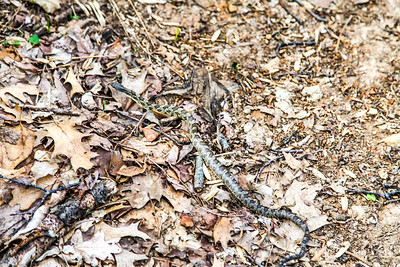 Black Rat Snake, Clifty Falls State Park