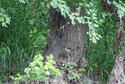 Woodpecker on White River.