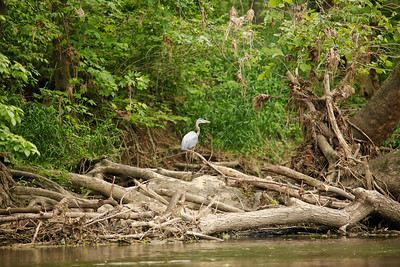 Blue Heron on White River log jam.